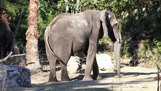 Disney's Animal Kingdom offering a new elephant experience - Caring for Giants