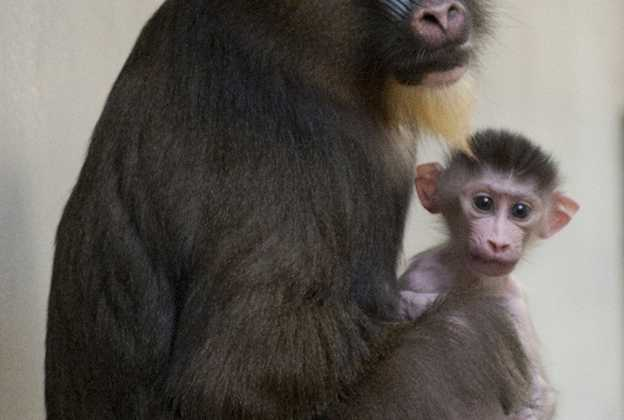 Male baby mandrill born at Disney's Animal Kingdom