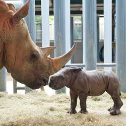 White Rhino birth at Disney's Animal Kingdom