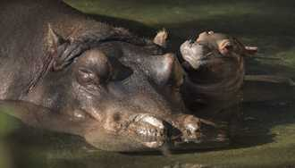 PHOTO - Nile hippopotamus born at Disney's Animal Kingdom