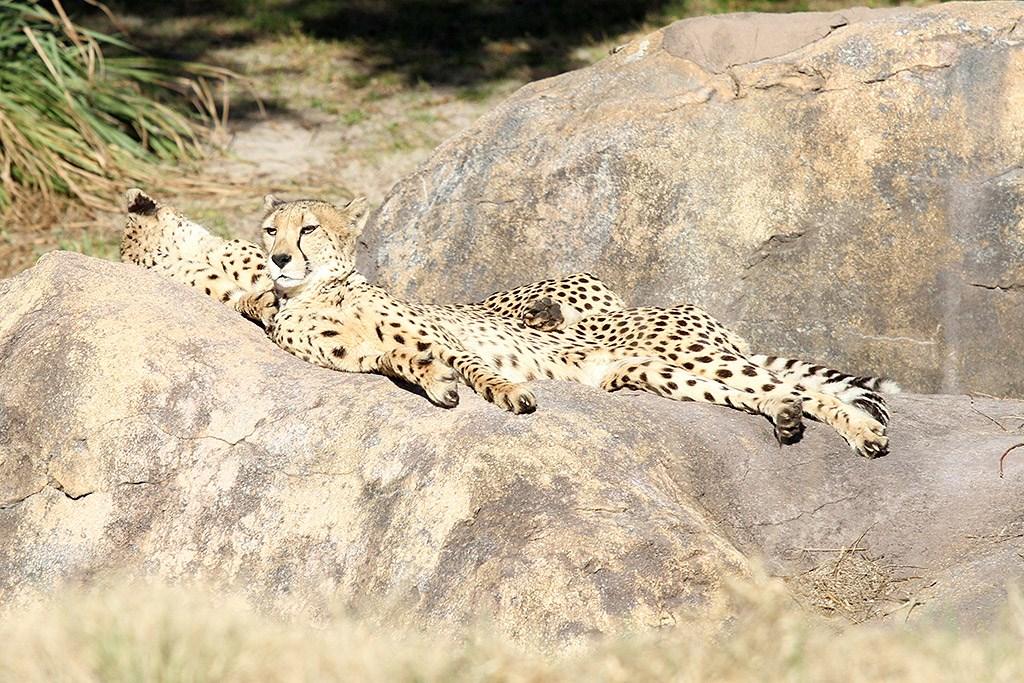 Kilimanjaro Safaris animals - Cheetah