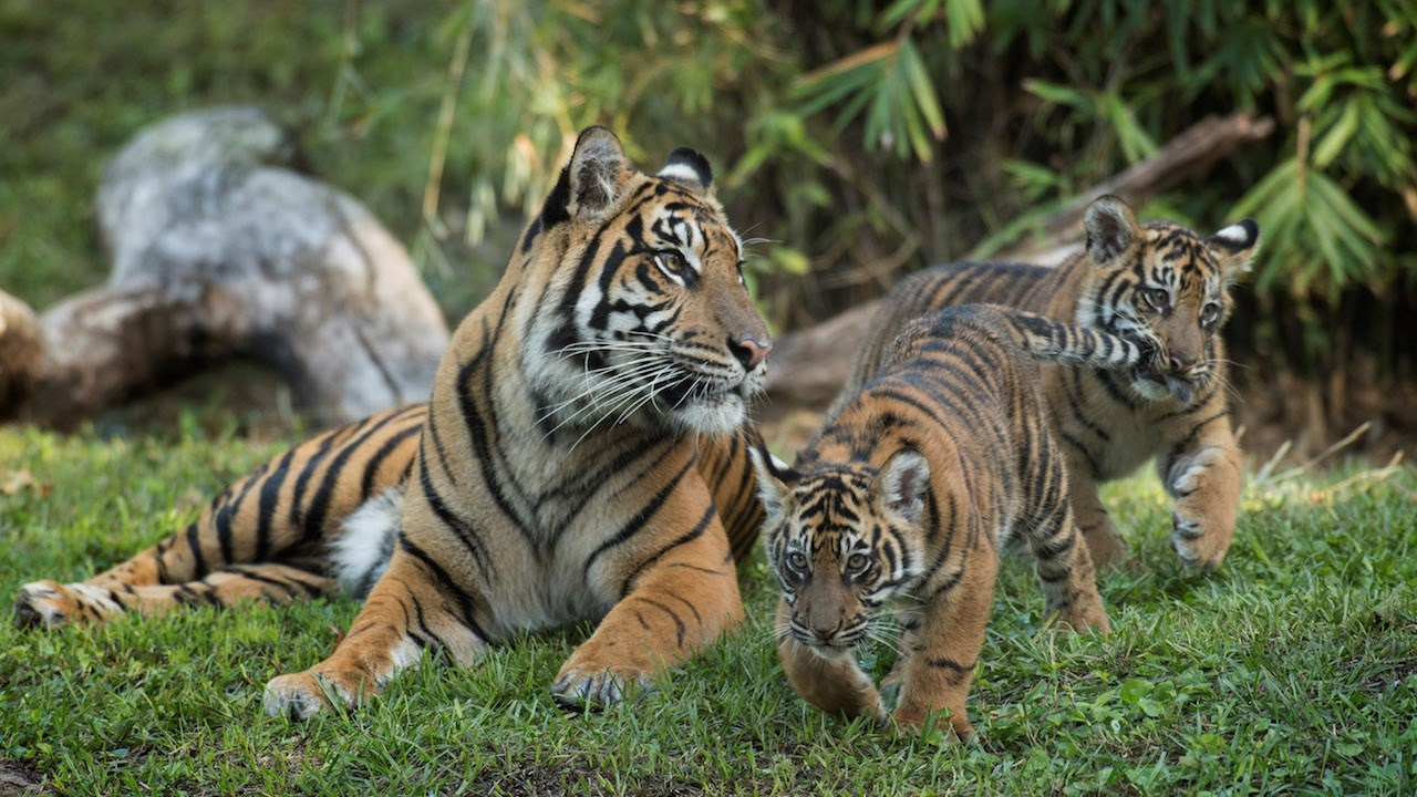 VIDEO - Sumatran tiger cubs can now be seen on the Maharajah Jungle Trek