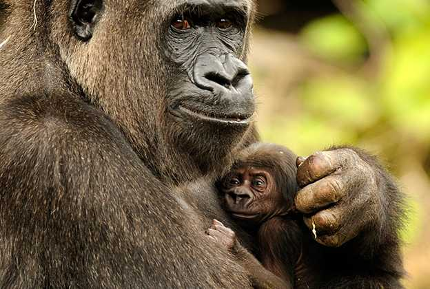 New born gorilla - Lilly