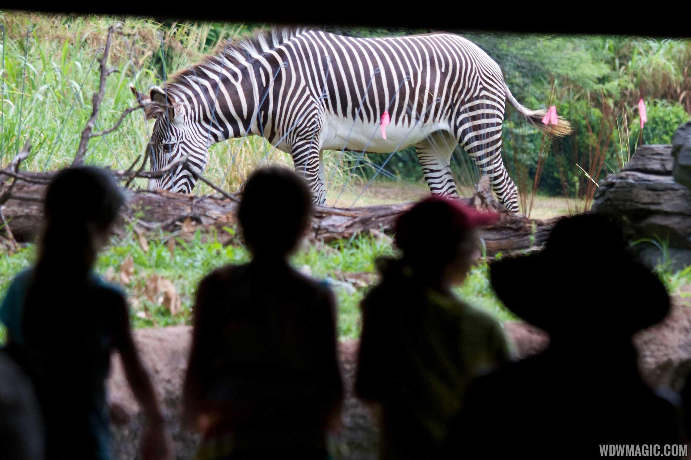 Grevy's Zebra at Pangani