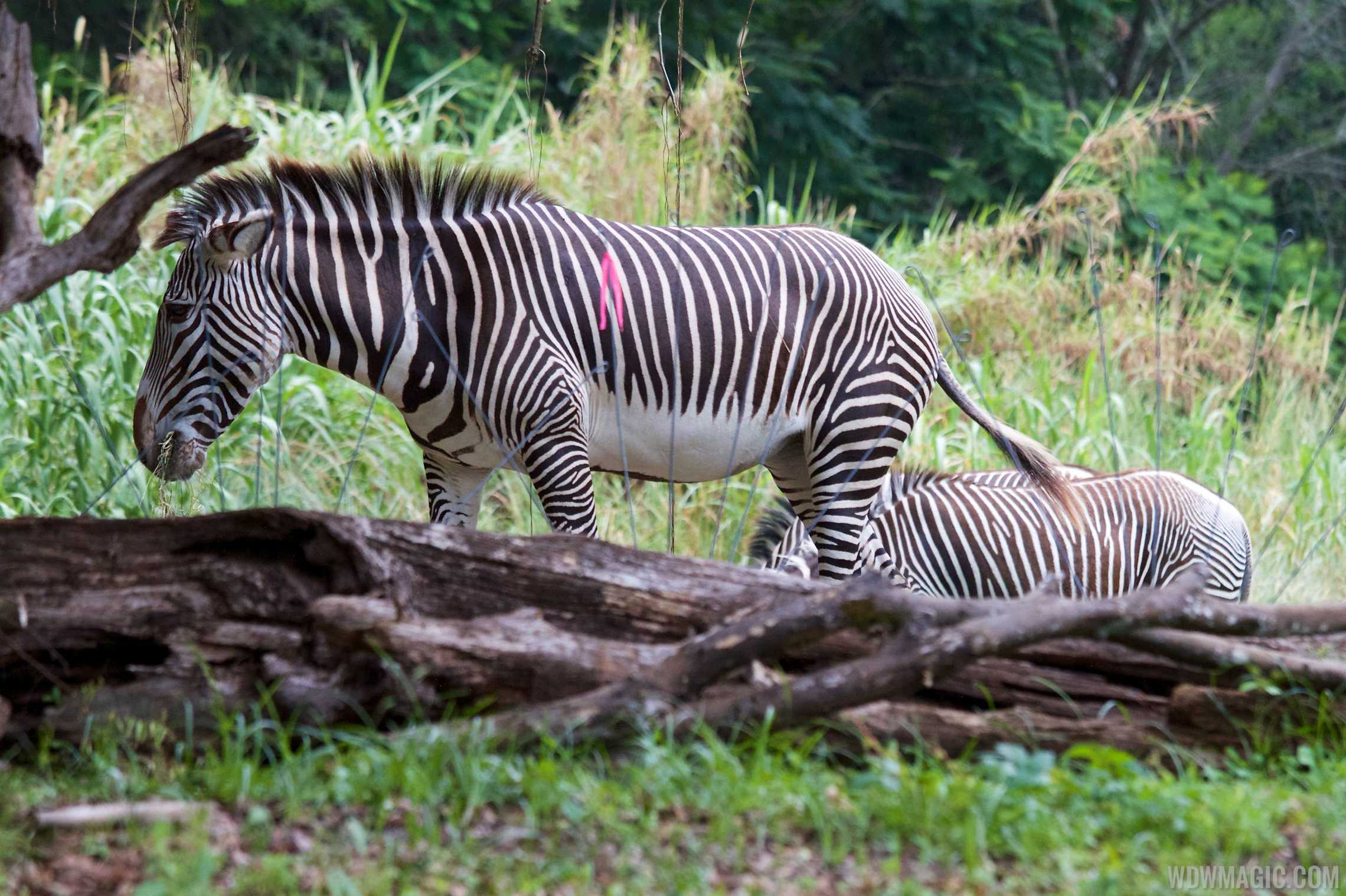 Grevy's zebra at Pangani Forest